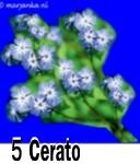 Cerato