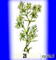 sclerantus