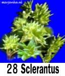 """Sclerantus"""""""""""